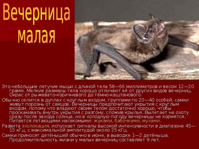 Это небольшие летучие мыши с длиной тела 58—66 миллиметров и весом 12—20 грамм. Мелкие размеры тела хорошо отличают её от других видов вечерниц. Окрас от рыжевато-коричневого до тёмно-каштанового. Обычно селится в дуплах с круглым входом, группами по 20—40 особей, самки живут порознь от самцов. Вечерницы предпочитают укрытия с круглым входом, потому что владеют своим телом достаточно хорошо, чтобы проскакивать внутрь укрытия с разгону, сложив крылья. Вылетает на охоту сразу после захода солнца, но в холодную погоду вечерницы не кормятся. Питается летающими насекомыми: жуками , бабочками , мухами . Развита эхолокация , испускает сигналы высокой интенсивности в диапазоне 45—15 кГц, с максимальной амплитудой около 25 кГц. Самки приносят детёнышей обычно в июне, в выводке 1—2 детёныша. Продолжительность жизни у малых вечерниц составляет 9 лет.