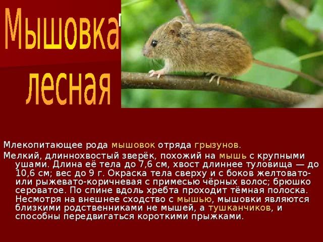 Мышовка  лесная Млекопитающее рода мышовок отряда грызунов . Мелкий, длиннохвостый зверёк, похожий на мышь с крупными ушами. Длина её тела до 7,6 см, хвост длиннее туловища — до 10,6 см; вес до 9 г. Окраска тела сверху и с боков желтовато- или рыжевато-коричневая с примесью чёрных волос; брюшко сероватое. По спине вдоль хребта проходит тёмная полоска. Несмотря на внешнее сходство с мышью , мышовки являются близкими родственниками не мышей, а тушканчиков , и способны передвигаться короткими прыжками.