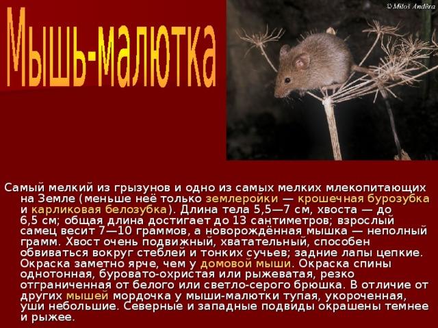 Самый мелкий из грызунов и одно из самых мелких млекопитающих на Земле (меньше неё только землеройки — крошечная бурозубка и карликовая белозубка ). Длина тела 5,5—7см, хвоста— до 6,5см; общая длина достигает до 13 сантиметров; взрослый самец весит 7—10 граммов, а новорождённая мышка — неполный грамм. Хвост очень подвижный, хватательный, способен обвиваться вокруг стеблей и тонких сучьев; задние лапы цепкие. Окраска заметно ярче, чем у домовой мыши . Окраска спины однотонная, буровато-охристая или рыжеватая, резко отграниченная от белого или светло-серого брюшка. В отличие от других мышей мордочка у мыши-малютки тупая, укороченная, уши небольшие. Северные и западные подвиды окрашены темнее и рыжее.