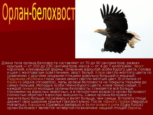 Длина тела орлана-белохвоста составляет от 70 до 90 сантиметров, размах крыльев— от 200 до 230 сантиметров, масса— от 4 до 7 килограмм. Хвост короткий, клиновидной формы. Оперение взрослой особи бурого цвета, голова и шея с желтоватым осветлением, хвост белый. Клюв светло-жёлтого цвета по сравнению с другими хищными птицами довольно большой и мощный. Радужная оболочка глаза также имеет светло-жёлтый цвет. В отличие от беркута ( Aquila chrysaetos ), лапы орлана-белохвоста не покрыты перьями до самых пальцев. Молодые особи тёмно-бурого цвета, клюв тёмно-серый. С каждой линькой молодые орланы-белохвосты становятся всё больше похожими на взрослых животных, а в пятилетнем возрасте орлан-белохвост полностью обретает взрослую внешность. Самки орлана-белохвоста значительно больше по размеру и весят больше, чем самцы. В полёте птица держит свои широкие крылья горизонтально. После чёрного грифа ( Aegypius monachus ), бородача ( Gypaetus barbatus ) и белоголового сипа ( Gyps fulvus ) орлан-белохвост является четвёртой по величине хищной птицей Европы .