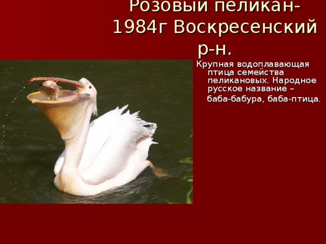 Розовый пеликан-1984г Воскресенский р-н. Крупная водоплавающая птица семейства пеликановых. Народное русское название –  баба-бабура, баба-птица.