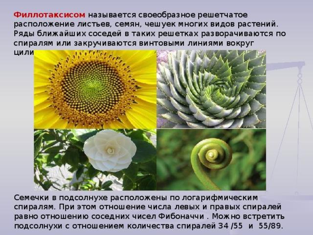 Филлотаксисом называется своеобразное решетчатое расположение листьев, семян, чешуек многих видов растений. Ряды ближайших соседей в таких решетках разворачиваются по спиралям или закручиваются винтовыми линиями вокруг цилиндра . Семечки в подсолнухе расположены по логарифмическим спиралям. При этом отношение числа левых и правых спиралей равно отношению соседних чисел Фибоначчи . Можно встретить подсолнухи с отношением количества спиралей 34 /55 и 55/89.
