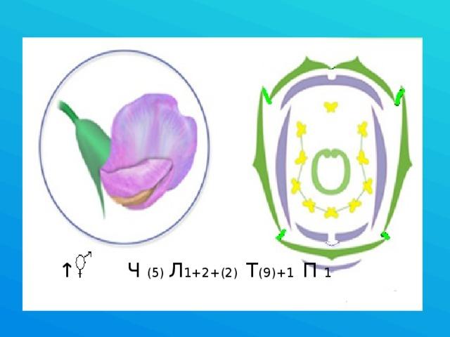 ↑ Ч (5) Л 1+2+(2) Т (9)+1 П 1