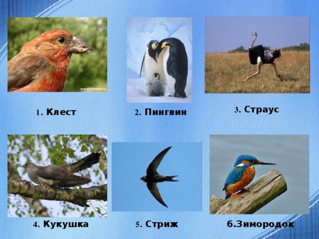 3 . Страус 1 . Клест 2 . Пингвин 4 . Кукушка 5 . Стриж 6.Зимородок