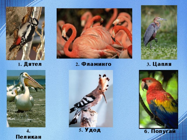 1 . Дятел 2 . Фламинго 3 . Цапля 5 . Удод 4 . Пеликан 6. Попугай