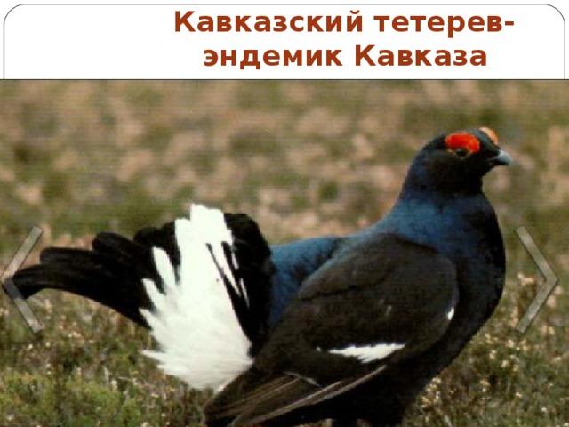 Кавказский тетерев-  эндемик Кавказа