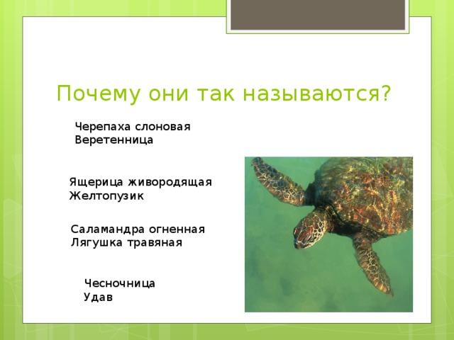 Почему они так называются? Черепаха слоновая Веретенница Ящерица живородящая Желтопузик Саламандра огненная Лягушка травяная Чесночница Удав