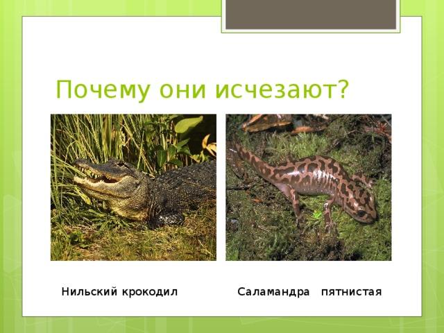 Почему они исчезают? Нильский крокодил Саламандра пятнистая