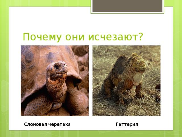 Почему они исчезают? Слоновая черепаха Гаттерия