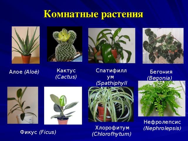 Комнатные растения   Спатифиллум  (Spathiphyllum) Кактус ( Cactus)  Ало e  (Aloë)  Бегония (Begonia)  Нефролепсис  ( Nephrolep s is )  Хлорофитум (С hlorofhytum ) Фикус (Ficus)
