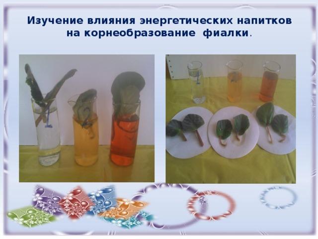 Изучение влияния энергетических напитков на корнеобразование фиалки .
