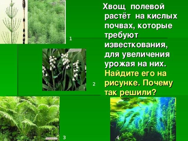 Хвощ полевой растёт на кислых почвах, которые требуют известкования, для увеличения урожая на них. Найдите его на рисунке. Почему так решили? 1 2 3 4