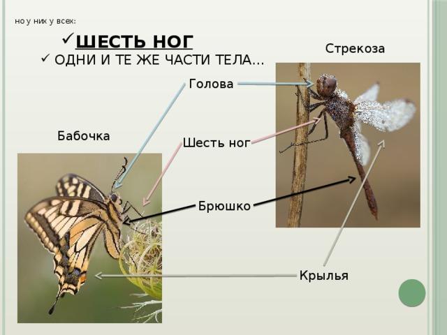но у них у всех: ШЕСТЬ НОГ ШЕСТЬ НОГ ШЕСТЬ НОГ ШЕСТЬ НОГ Стрекоза  ОДНИ И ТЕ ЖЕ ЧАСТИ ТЕЛА… Голова Бабочка Шесть ног Брюшко Крылья
