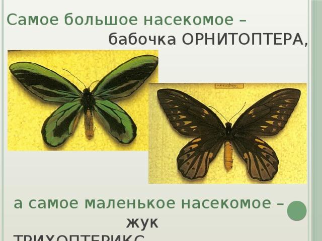 Самое большое насекомое –  бабочка ОРНИТОПТЕРА, а самое маленькое насекомое –  жук ТРИХОПТЕРИКС