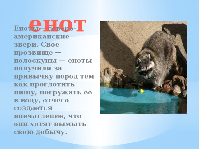 енот Еноты —северо-американские звери. Свое прозвище — полоскуны — еноты получили за привычку перед тем как проглотить пищу, погружать ее в воду, отчего создается впечатление, что они хотят вымыть свою добычу.