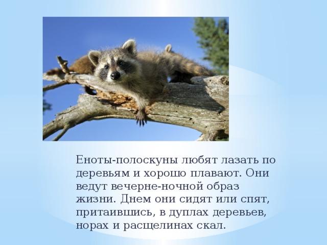 Еноты-полоскуны любят лазать по деревьям и хорошо плавают. Они ведут вечерне-ночной образ жизни. Днем они сидят или спят, притаившись, в дуплах деревьев, норах и расщелинах скал.