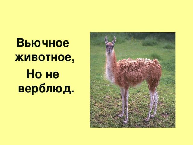 Вьючное животное, Но не верблюд.