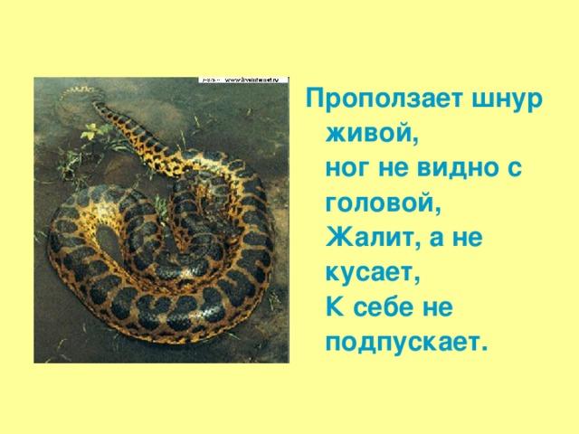 Проползает шнур живой,  ног не видно с головой,  Жалит, а не кусает,  К себе не подпускает.