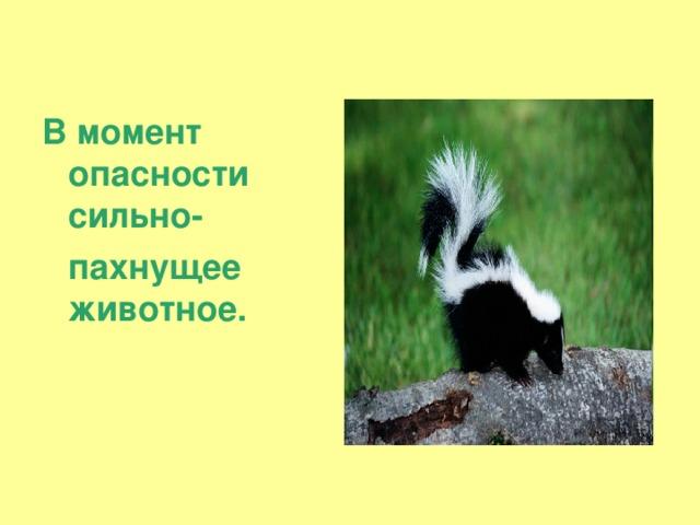 В момент опасности сильно-  пахнущее животное.