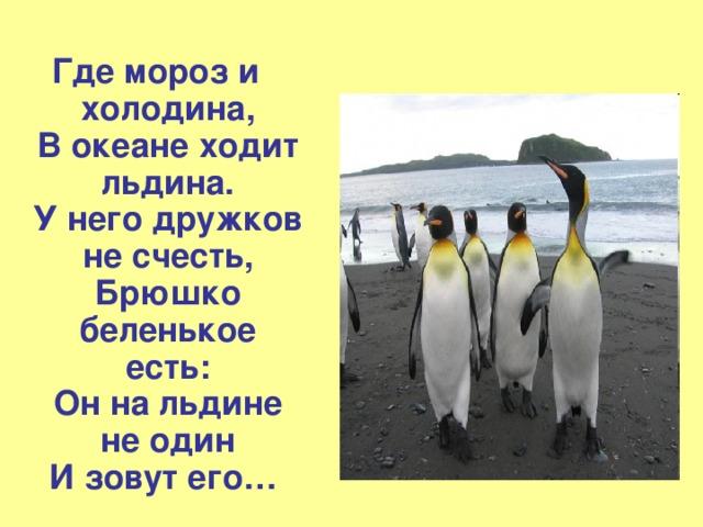Где мороз и холодина,  В океане ходит льдина.  У него дружков не счесть,  Брюшко беленькое есть:  Он на льдине не один  И зовут его …