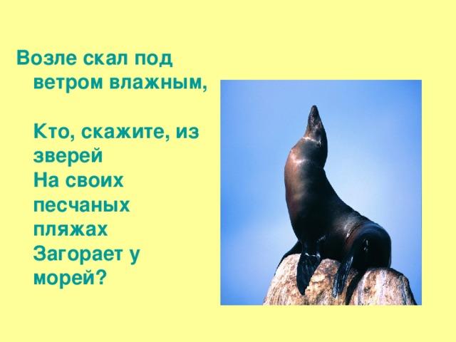 Возле скал под ветром влажным,  Кто, скажите, из зверей  На своих песчаных пляжах  Загорает у морей?