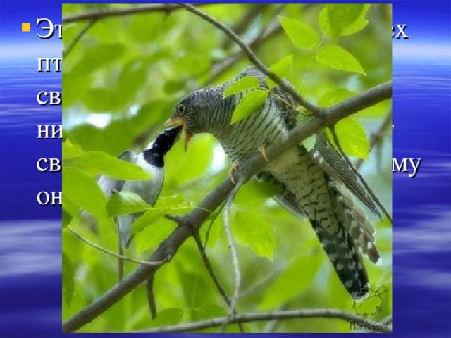 Эта птица-единственная из всех птиц , которая подкладывает свои яйца в чужие гнезда и никогда сама не выкармливает своих птенцов.  А знаете , почему она это делает?