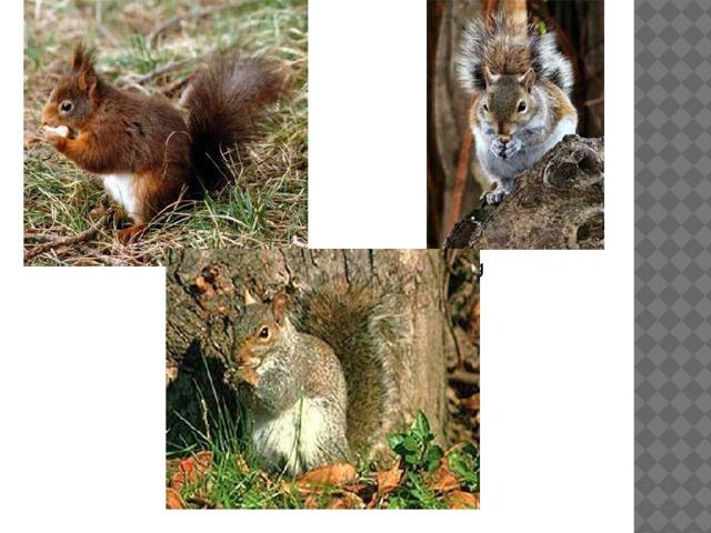 file:///D:/body/animals/71.jpg Зверька узнаем мы с тобой По двум таким приметам: Он в шубке серенькой зимой, А врыжей шубке летом