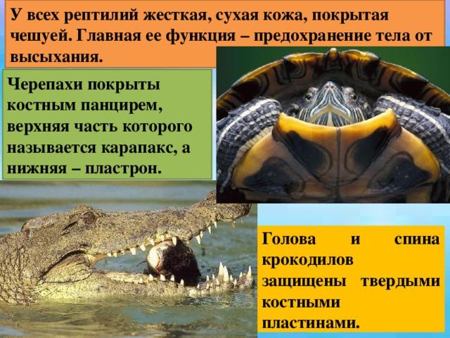 У всех рептилий жесткая, сухая кожа, покрытая чешуей. Главная ее функция – предохранение тела от высыхания. Черепахи покрыты костным панцирем, верхняя часть которого называется карапакс, а нижняя – пластрон. Голова и спина крокодилов защищены твердыми костными пластинами.