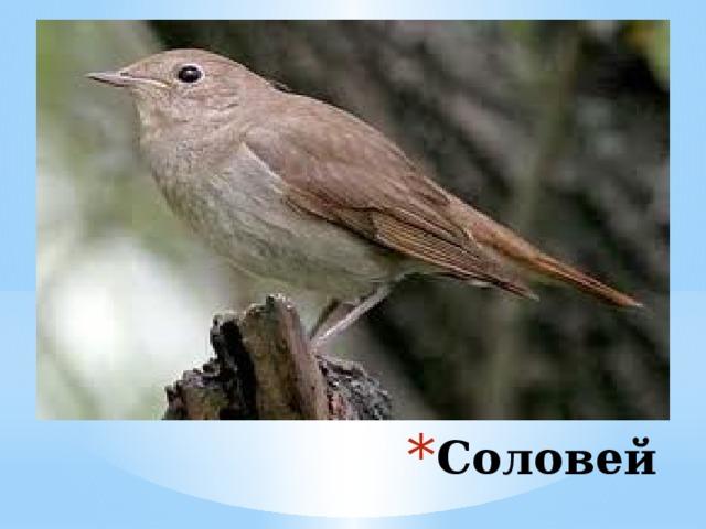 Среди полезных насекомоядных птиц соловьи занимают одно из первых мест, поскольку в большом количестве уничтожают насекомых-вредителей. Соловей