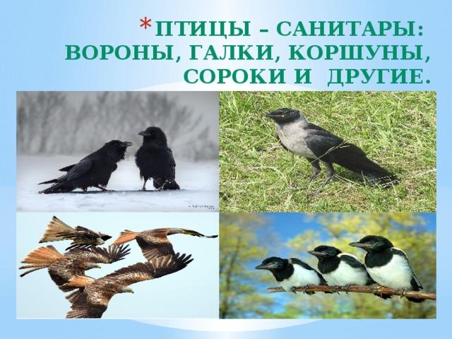 Птицы – санитары:  вороны, галки, коршуны, сороки и другие.