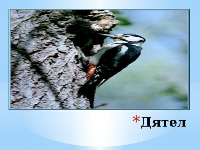 Дятлы долбят кору деревьев целыми часкам и, доставая оттуда насекомых. Один дятел за день съедает до 750-900 короедов . Дятел всегда сам выдалбливает в лесу отличное жильё. А после него в нём живут разные мелкие птички. Дятел
