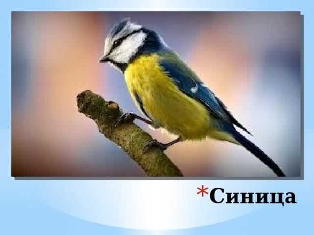 Синицы, перелетая с дерева на дерево, обнаруживает все трещинки в поисках насекомых и их личинок. Взрослая синица уничтожает в день 120 гусениц . Пара синиц за гнездовой период может уничтожить вредителей на 40 яблонях. Одна синица за сутки съедает столько насекомых, сколько весит сама. Эти птицы поедают гусениц, жуков, тлю, очищая тем самым и всю окружающую территорию. К своему гнезду к птенцам они прилетают с кормом около 400 раз. Синица