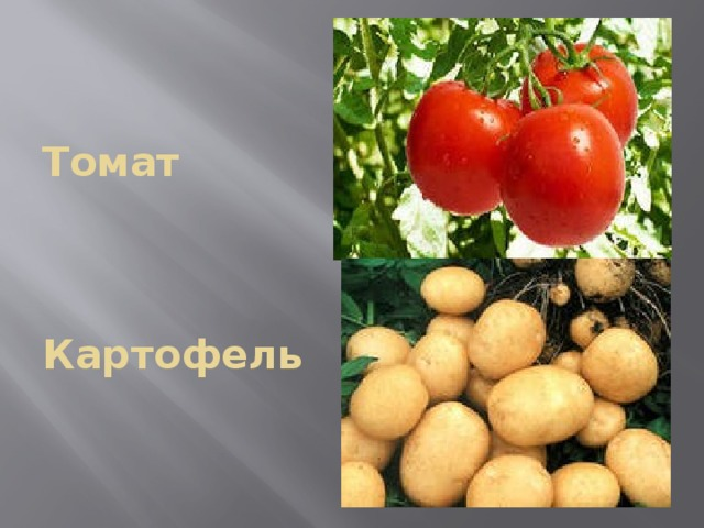 Томат     Картофель