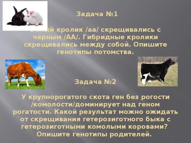 Задача №1   Белый кролик /аа/ скрещивались с черным /АА/. Гибридные кролики скрещивались между собой. Опишите генотипы потомства.     Задача №2   У крупнорогатого скота ген без рогости /комолости/доминирует над геном рогатости. Какой результат можно ожидать от скрещивания гетерозиготного быка с гетерозиготными комолыми коровами? Опишите генотипы родителей.