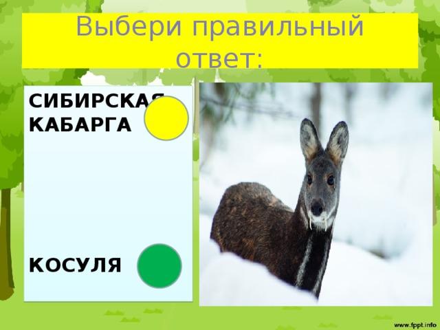 Выбери правильный ответ: Сибирская Кабарга      Косуля