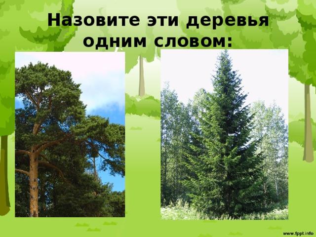 Назовите эти деревья одним словом: