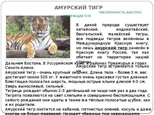 АМУРСКИЙ ТИГР   ЧИСЛЕННОСТЬ БЫСТРО СОКРАЩАЕТСЯ   В дикой природе существует китайский, индокитайский, бенгальский, малайский тигры, все подвиды тигров включены в Международную Красную книгу, но лишь амурский тигр занесён в Красную книгу России, так как обитает на территории нашей страны. Амурский тигр встречается только на Дальнем Востоке, В Уссурийском крае, в районах Приамурья и горах Сихотэ-Алиня. Амурский тигр – очень крупный хищник. Длина тела – более 3 м, вес достигает около 320 кг. У животного очень красивая густая длинная блестящая полосатая шерсть, мощные острые клыки длиной 4-5 см. Зверь выносливый, сильный . Тигрица рождает обычно 2-3 детёнышей не чаще чем раз в два года. Тигрята появляются на свет слепыми и совершенно беспомощными. С самого рождения они одеты в такие же тёплые полосатые шубки, как и их родители. Амурский тигр охотится на кабанов, пятнистых оленей, косуль и даже иногда на бурых медведей. Находит убежища под нависающими скалами и поваленными деревьями.