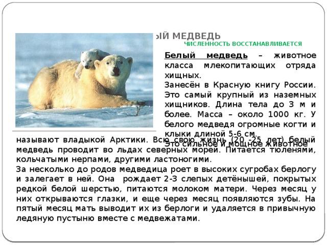 БЕЛЫЙ МЕДВЕДЬ   ЧИСЛЕННОСТЬ ВОССТАНАВЛИВАЕТСЯ   Белый медведь – животное класса млекопитающих отряда хищных. Занесён в Красную книгу России. Это самый крупный из наземных хищников. Длина тела до 3 м и более. Масса – около 1000 кг. У белого медведя огромные когти и клыки длиной 5-6 см. Это сильное и мощное животное называют владыкой Арктики. Всю свою жизнь (20 -25 лет) белый медведь проводит во льдах северных морей. Питается тюленями, кольчатыми нерпами, другими ластоногими. За несколько до родов медведица роет в высоких сугробах берлогу и залегает в ней. Она рождает 2-3 слепых детёнышей, покрытых редкой белой шерстью, питаются молоком матери. Через месяц у них открываются глазки, и еще через месяц появляются зубы. На пятый месяц мать выводит их из берлоги и удаляется в привычную ледяную пустыню вместе с медвежатами.