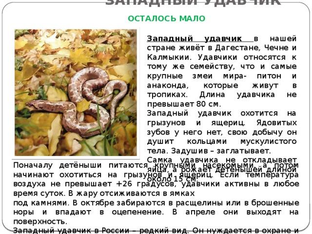ЗАПАДНЫЙ УДАВЧИК ОСТАЛОСЬ МАЛО Западный удавчик в нашей стране живёт в Дагестане, Чечне и Калмыкии. Удавчики относятся к тому же семейству, что и самые крупные змеи мира- питон и анаконда, которые живут в тропиках. Длина удавчика не превышает 80 см. Западный удавчик охотится на грызунов и ящериц. Ядовитых зубов у него нет, свою добычу он душит кольцами мускулистого тела. Задушив – заглатывает. Самка удавчика не откладывает яйца, а рожает детёнышей длиной около 15 см. Поначалу детёныши питаются крупными насекомыми, а потом начинают охотиться на грызунов и ящериц. Если температура воздуха не превышает +26 градусов, удавчики активны в любое время суток. В жару отсиживаются в ямках под камнями. В октябре забираются в расщелины или в брошенные норы и впадают в оцепенение. В апреле они выходят на поверхность. Западный удавчик в России – редкий вид. Он нуждается в охране и занесён в Красную книгу.