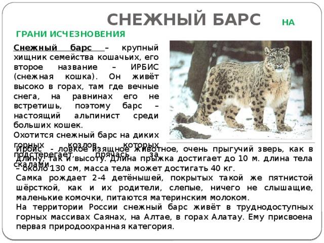 СНЕЖНЫЙ БАРС  НА ГРАНИ ИСЧЕЗНОВЕНИЯ Снежный барс – крупный хищник семейства кошачьих, его второе название – ИРБИС (снежная кошка). Он живёт высоко в горах, там где вечные снега, на равнинах его не встретишь, поэтому барс – настоящий альпинист среди больших кошек. Охотится снежный барс на диких горных козлов, которых подстерегает, прячась за скалами. Ирбис - ловкое изящное животное, очень прыгучий зверь, как в длину, так и высоту. Длина прыжка достигает до 10 м. длина тела – около 130 см, масса тела может достигать 40 кг. Самка рождает 2-4 детёнышей, покрытых такой же пятнистой шёрсткой, как и их родители, слепые, ничего не слышащие, маленькие комочки, питаются материнским молоком. На территории России снежный барс живёт в труднодоступных горных массивах Саянах, на Алтае, в горах Алатау. Ему присвоена первая природоохранная категория.