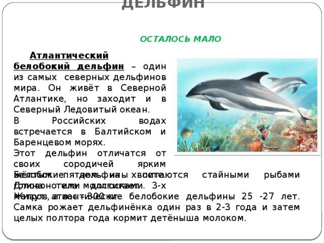 АНТЛАНТИЧЕСКИЙ БЕЛОБОКИЙ ДЕЛЬФИН   ОСТАЛОСЬ МАЛО  Атлантический белобокий дельфин – один из самых северных дельфинов мира. Он живёт в Северной Атлантике, но заходит и в Северный Ледовитый океан. В Российских водах встречается в Балтийском и Баренцевом морях. Этот дельфин отличатся от своих сородичей ярким жёлтым пятном на хвосте. Длина тела достигает 3-х метров, а вес – 300 кг. Белобокие дельфины питаются стайными рыбами головоногими моллюсками. Живут атлантические белобокие дельфины 25 -27 лет. Самка рожает дельфинёнка один раз в 2-3 года и затем целых полтора года кормит детёныша молоком.