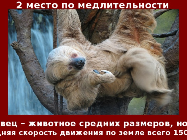 2 место по медлительности Ленивец – животное средних размеров, но его средняя скорость движения по земле всего 150 м/ч