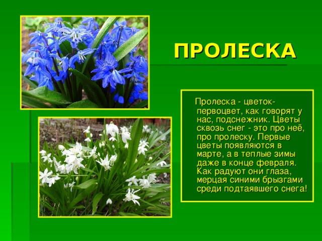 цель цветы первоцветы фото и описание один самых