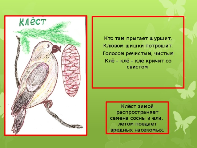 Кто там прыгает шуршит, Клювом шишки потрошит. Голосом речистым, чистым Клё – клё – клё кричит со свистом Клёст зимой распространяет семена сосны и ели, летом поедает вредных насекомых.