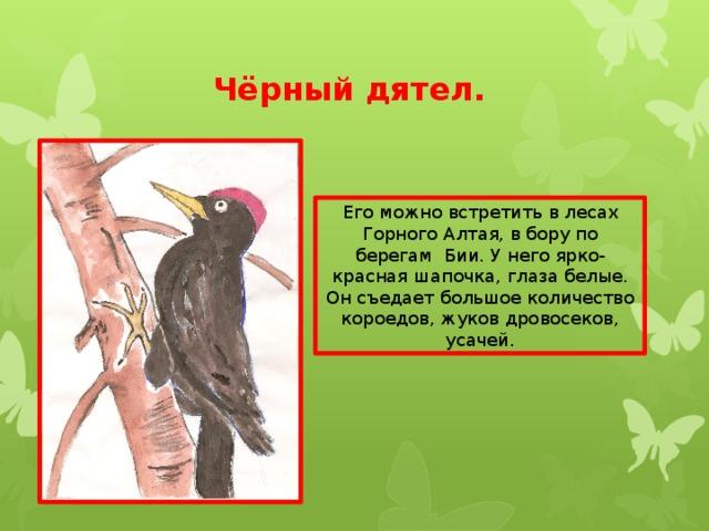 Чёрный дятел. Его можно встретить в лесах Горного Алтая, в бору по берегам Бии. У него ярко-красная шапочка, глаза белые. Он съедает большое количество короедов, жуков дровосеков, усачей.