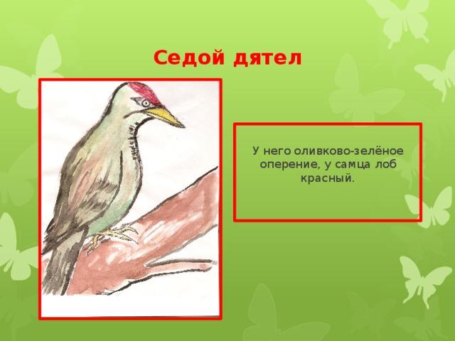 Седой дятел У него оливково-зелёное оперение, у самца лоб красный.
