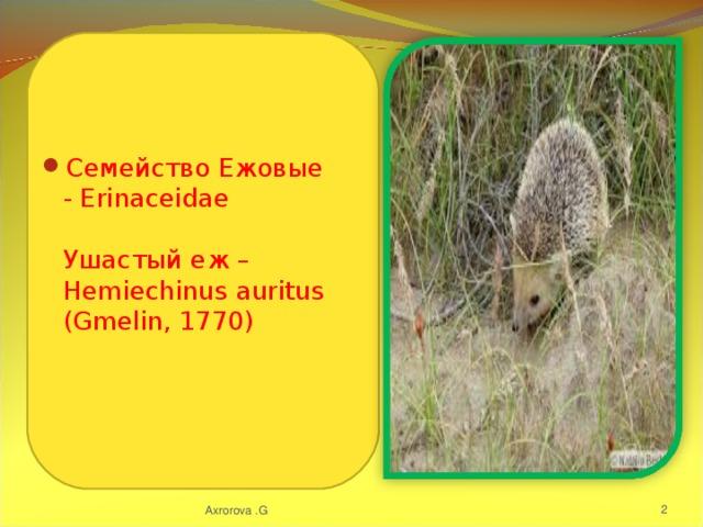 Семейство Ежовые - Erinaceidae   Ушастый еж – Hemiechinus auritus (Gmelin, 1770)