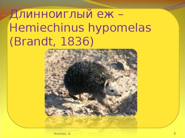 Длинноиглый еж – Hemiechinus hypomelas (Brandt, 1836) Axrorova .G