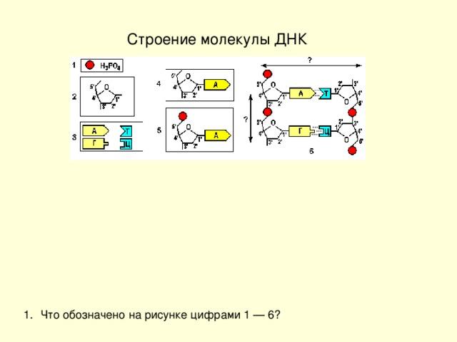 Строение молекулы ДНК