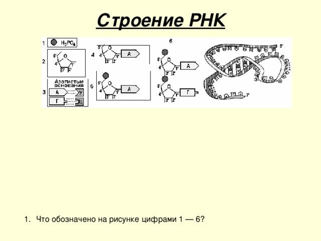 Строение РНК